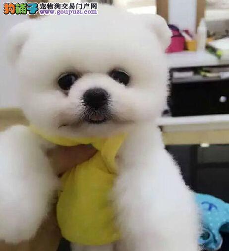 高品质博美犬幼犬、纯度第一价位最低、三年质保协议