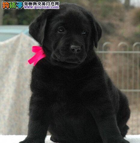 宜春自家狗场繁殖直销拉布拉多幼犬签订保障协议