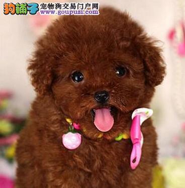 赛级品相安康泰迪犬幼犬低价出售狗贩子请勿扰