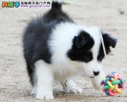 吉安实体店低价促销赛级边境牧羊犬幼犬CKU认证绝对信誉保障