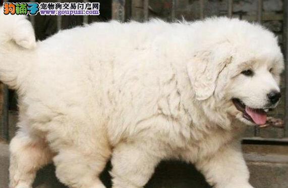 正规狗场直销价格出售藏獒 广州附近可送狗非诚勿扰