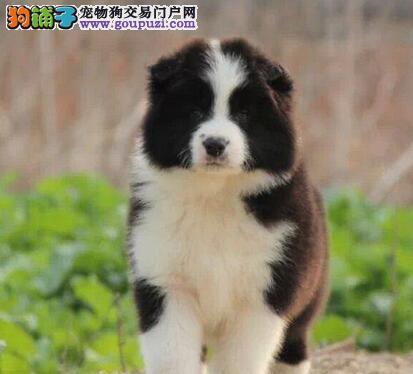 自家狗场热销出售纯种边境牧羊犬 七白到位深圳最低价