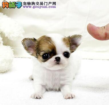 出售超小超可爱吉娃娃,活泼可爱纯种苹果头吉娃娃犬