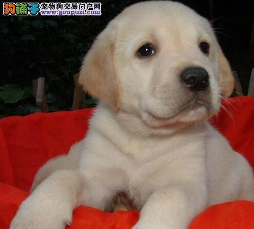 杭州家养拉布拉多幼犬 纯种导盲犬拉布拉多幼犬 质保