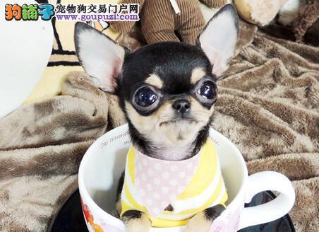 出售纯种呼和浩特吉娃娃幼犬 健康保障 贴心服务