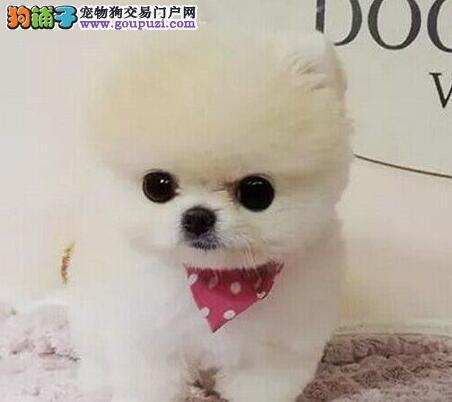 邯郸地区出售博美犬 品种多样血缘清楚品相好价格低