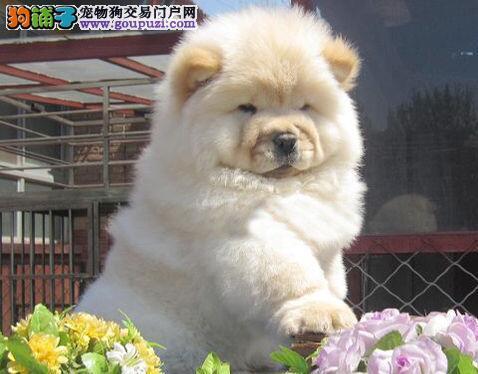 出售高品质松狮幼犬 绍兴的朋友可以直接上门选购