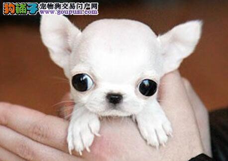 热销吉娃娃幼犬,CKU认证保健康,提供养护指导