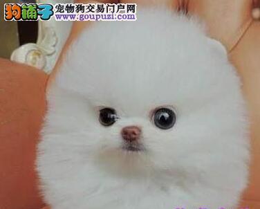 热销哈尔滨博美犬 纯种哈多利版可办理血统证书有芯片