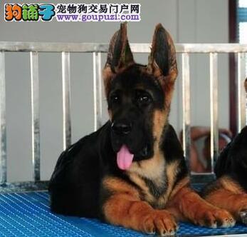 优秀大头锤系德国牧羊犬上海狗场直销 可视频和刷卡