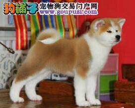 哈尔滨狗场专业繁殖出售精品日系秋田犬 对主人很忠诚