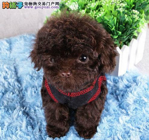 成都专业犬舍繁殖出售纯种泰迪犬 欢迎来犬舍直接购买