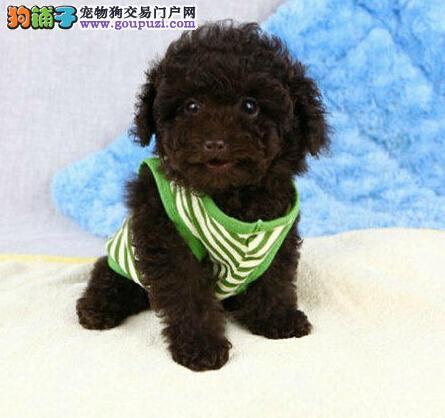 重庆专业的泰迪犬犬舍终身保健康我们承诺终身免费售后