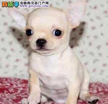 吉娃娃火爆销售中,可看狗狗父母照片,签署合同质保