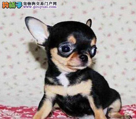 出售超可爱的小体苹果头济南吉娃娃幼犬 狗贩子勿扰