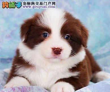 低价促销优秀深圳边境牧羊犬 专业犬舍繁殖保健康