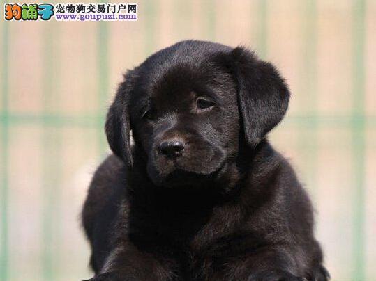 宜昌狗场直销导盲犬拉布拉多 购买终身免费饲养指导