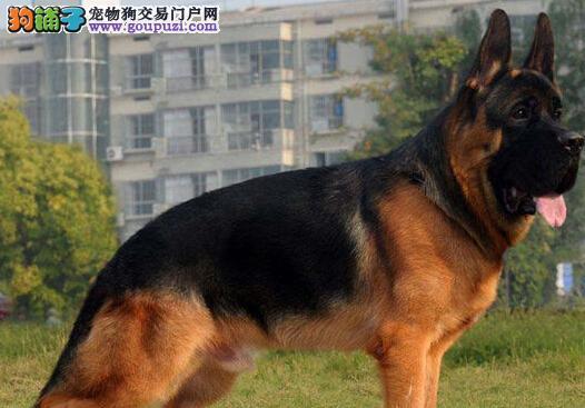 北京大型养殖基地繁殖德国牧羊犬火爆出售 欢迎购买