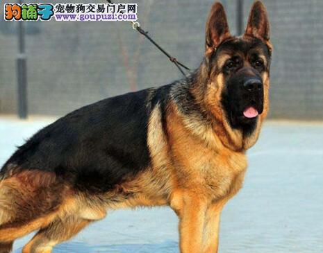 上海狗场转让超高品质德国牧羊犬赛级血统