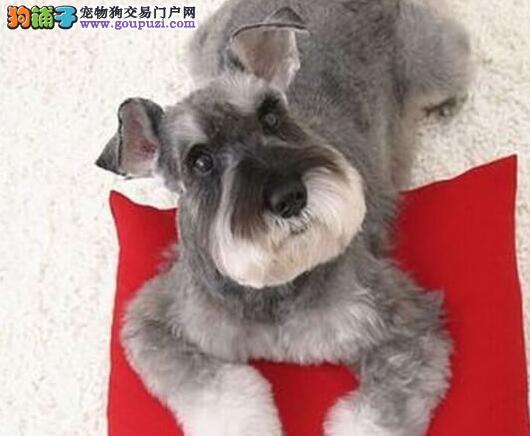 犬舍直销品种纯正健康雪纳瑞办理血统证书