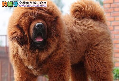 直销纯种原生态藏獒 宁波cku认证犬舍专业繁殖品质高