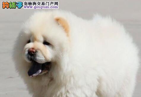 郑州最大犬舍出售多种颜色松狮签署各项质保合同