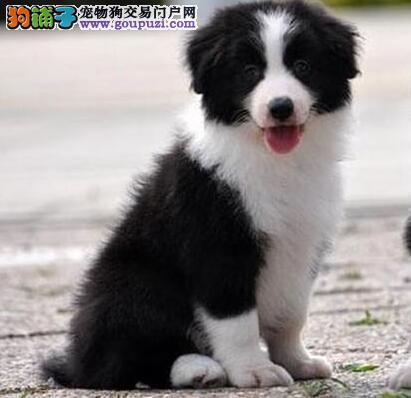 纯血统边境牧羊犬幼犬、金牌店铺价位最低、诚信经营保障