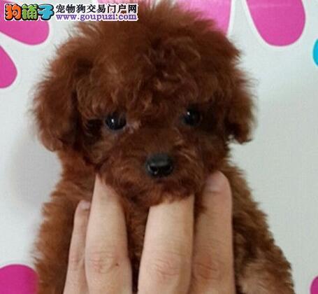 海淀养殖场直销完美品相的泰迪犬 多种颜色签协议