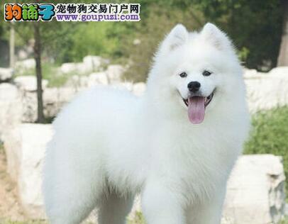 北京大型养殖基地低价出售萨摩耶 雪白色没有杂毛