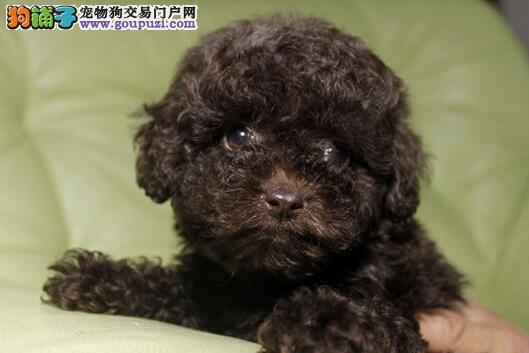 多种颜色多种血系的泰迪犬找新主人 东莞的朋友别错过