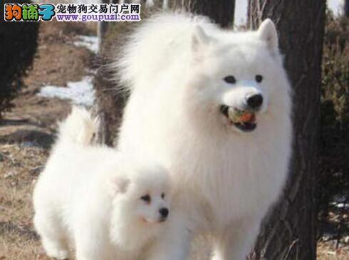 上海实体店出售微笑天使萨摩耶 有问题可退换也可预订
