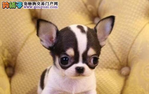 纯种吉娃娃幼犬,品质第一价位最低,三包终生协议