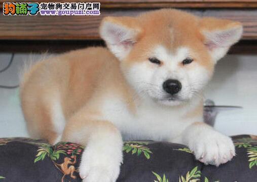 秋田犬 不以价格惊天下 但以品质惊世人包售后包退换