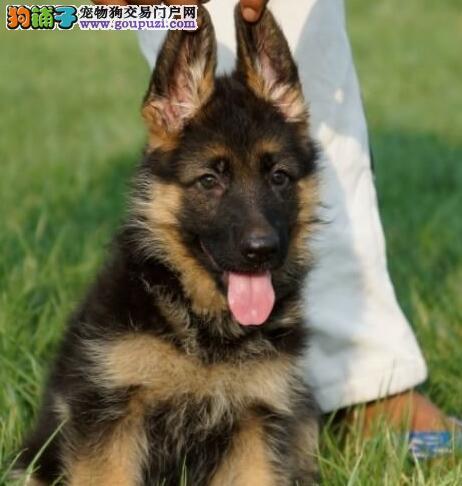 纯度第一+品质第一+价位最低~德牧幼犬——健康质保