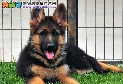 德国牧羊犬 天津 如何挑选德国牧羊犬幼犬