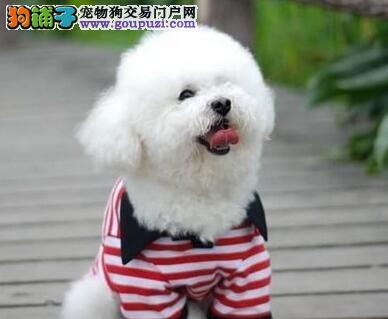 棉花糖版的比熊犬火爆低价热销中 深圳的朋友可上门选