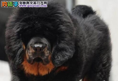 深圳高贵气质英勇凶猛纯种藏獒犬獒园售幼獒多窝可挑选