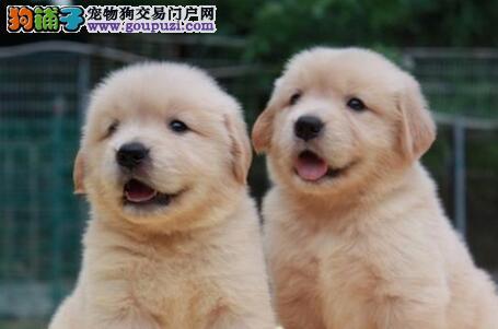 大骨架大毛量的厦门金毛犬低价出售 终身质保售后服务