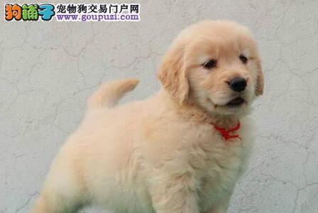 出售纯种健康大骨架金毛犬 广州市内可免费送狗上门