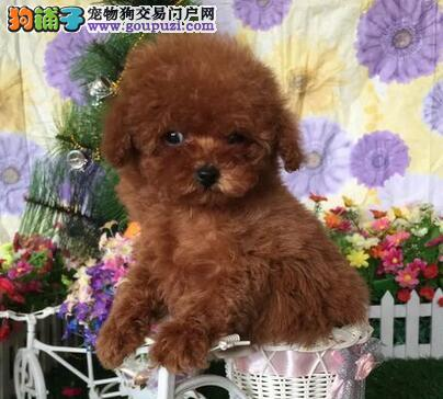 茶杯玩具血系的厦门泰迪幼犬找新家 欢迎大家莅临参观