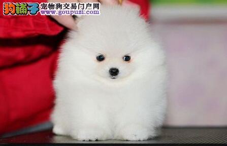 出售精品哈多利版西安博美犬 可刷卡可送货可签定合同