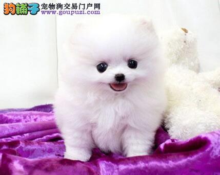 重庆博美犬多少钱 重庆到哪能买 白色博美幼犬