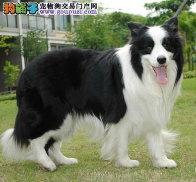 热销顶级优秀广州边境牧羊犬 可当面看狗保证直系血统
