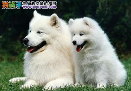 健康纯种微笑天使萨摩耶低价出售 纯正澳版上海最低价