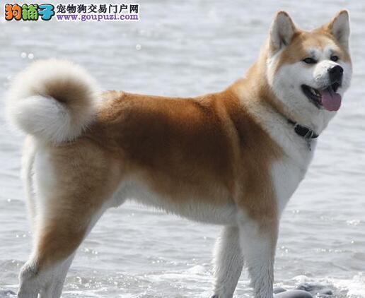 赛级秋田犬幼犬、纯种健康品相优良、讲诚信信誉好