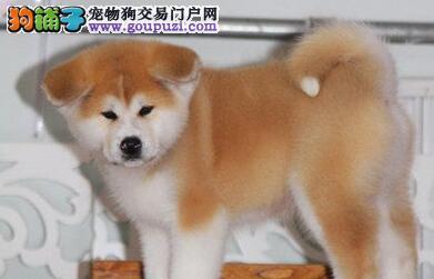 出售多只优秀的秋田犬宜宾可上门CKU认证绝对信誉保障