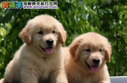 精品纯种宜宾金毛出售质量三包签订协议包细小犬瘟热