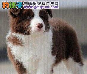 直销价格转让极品武汉边境牧羊犬 七白到位颜色齐全