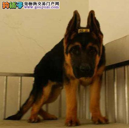 大骨架锤系惠州德国牧羊犬低价直销 放心犬舍专业繁殖