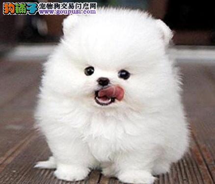 雪白色纯血系的珠海博美犬低价转让 可上门看狗